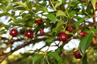 Cherry of the Rio Grande